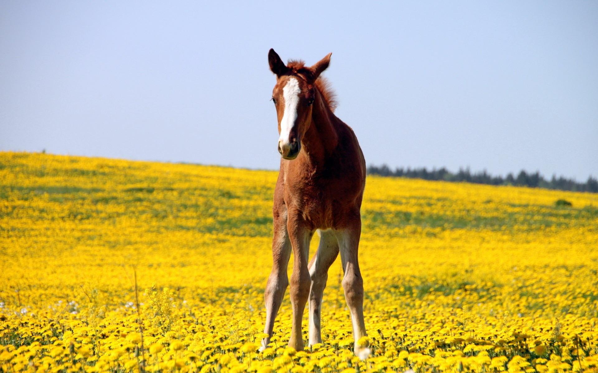 brown and white horse widescreen desktop wallpaper 1175
