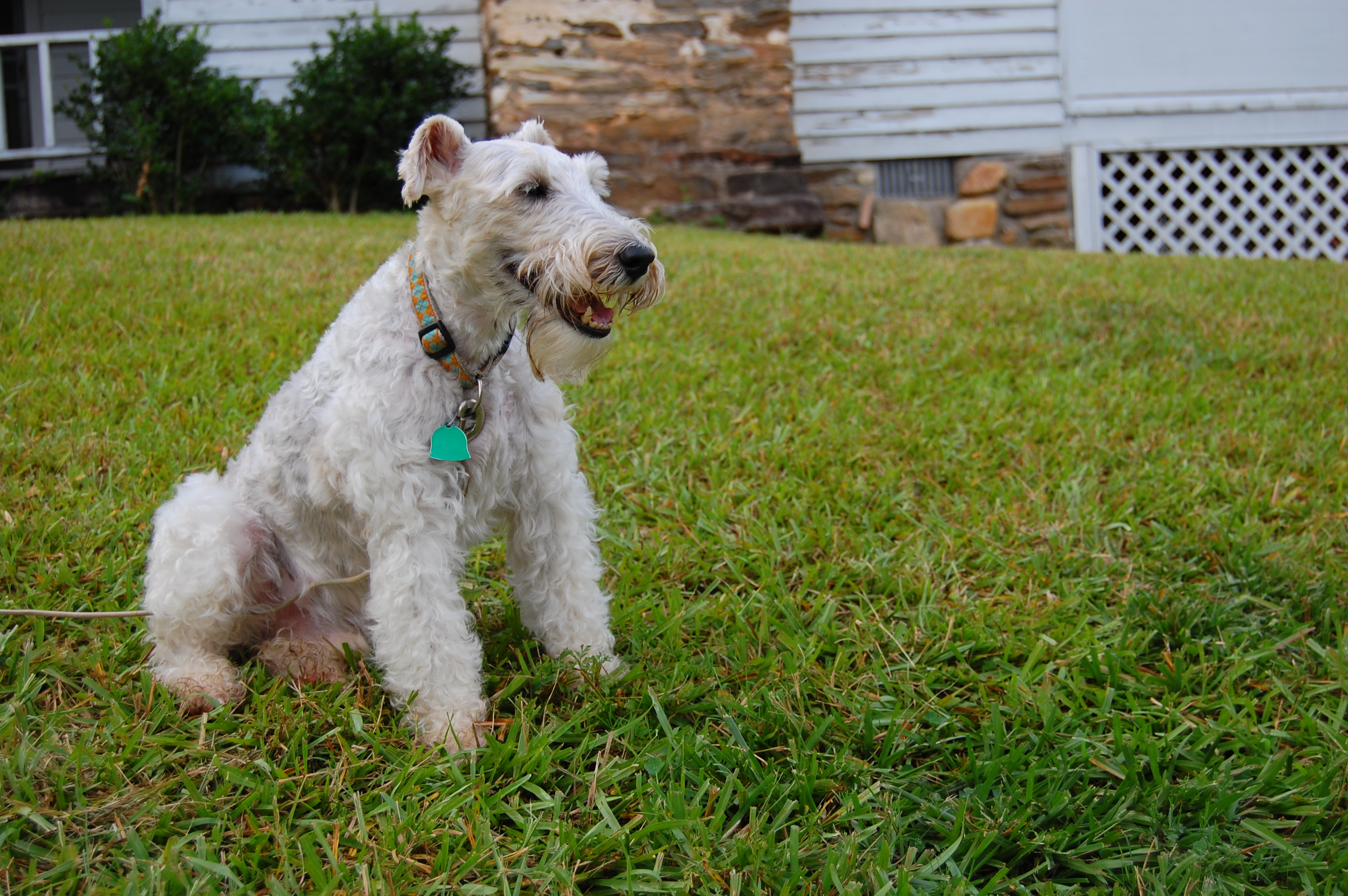 fox terrier dog widescreen hd wallpaper 110
