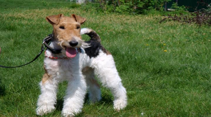 Fox Terrier Dog Animal Wallpaper 108