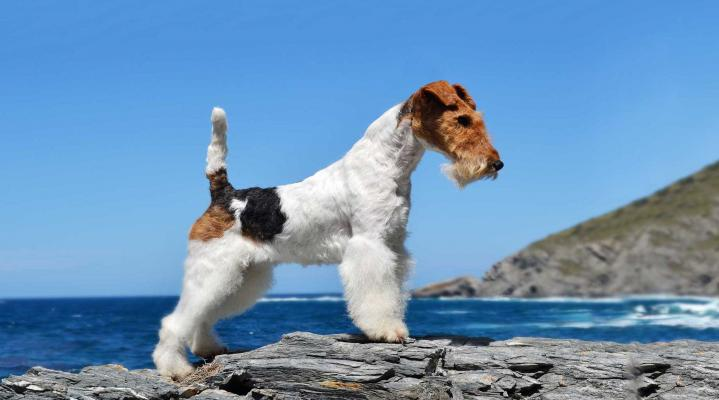 Fox Terrier Dog Wallpaper 107