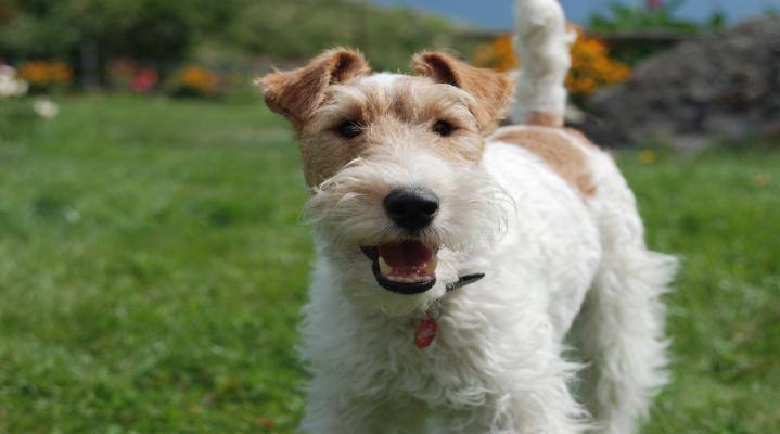 Happy Fox Terrier Dog Wide Wallpaper 106