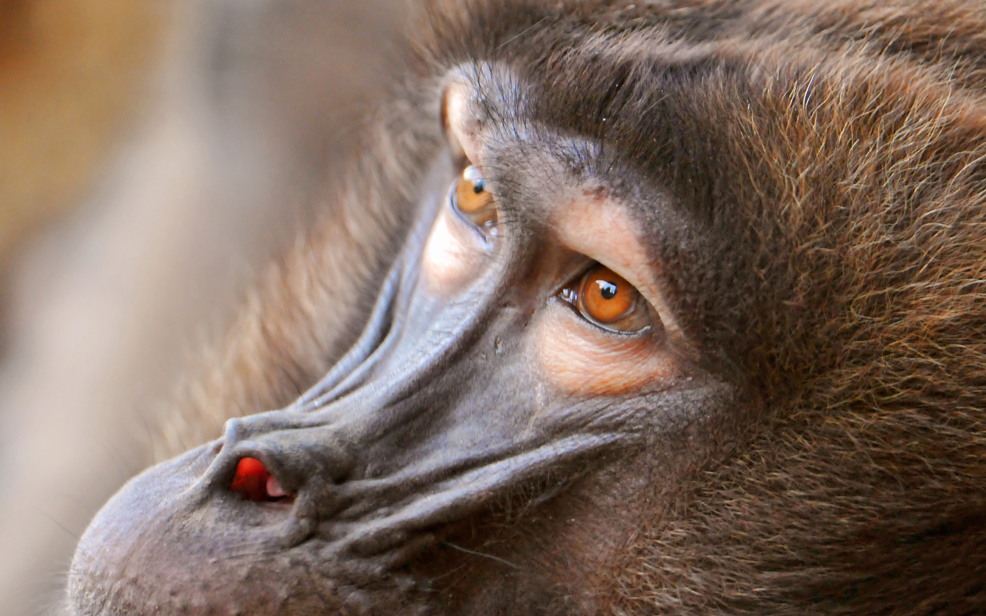 baboon eyes desktop hd wallpaper 37