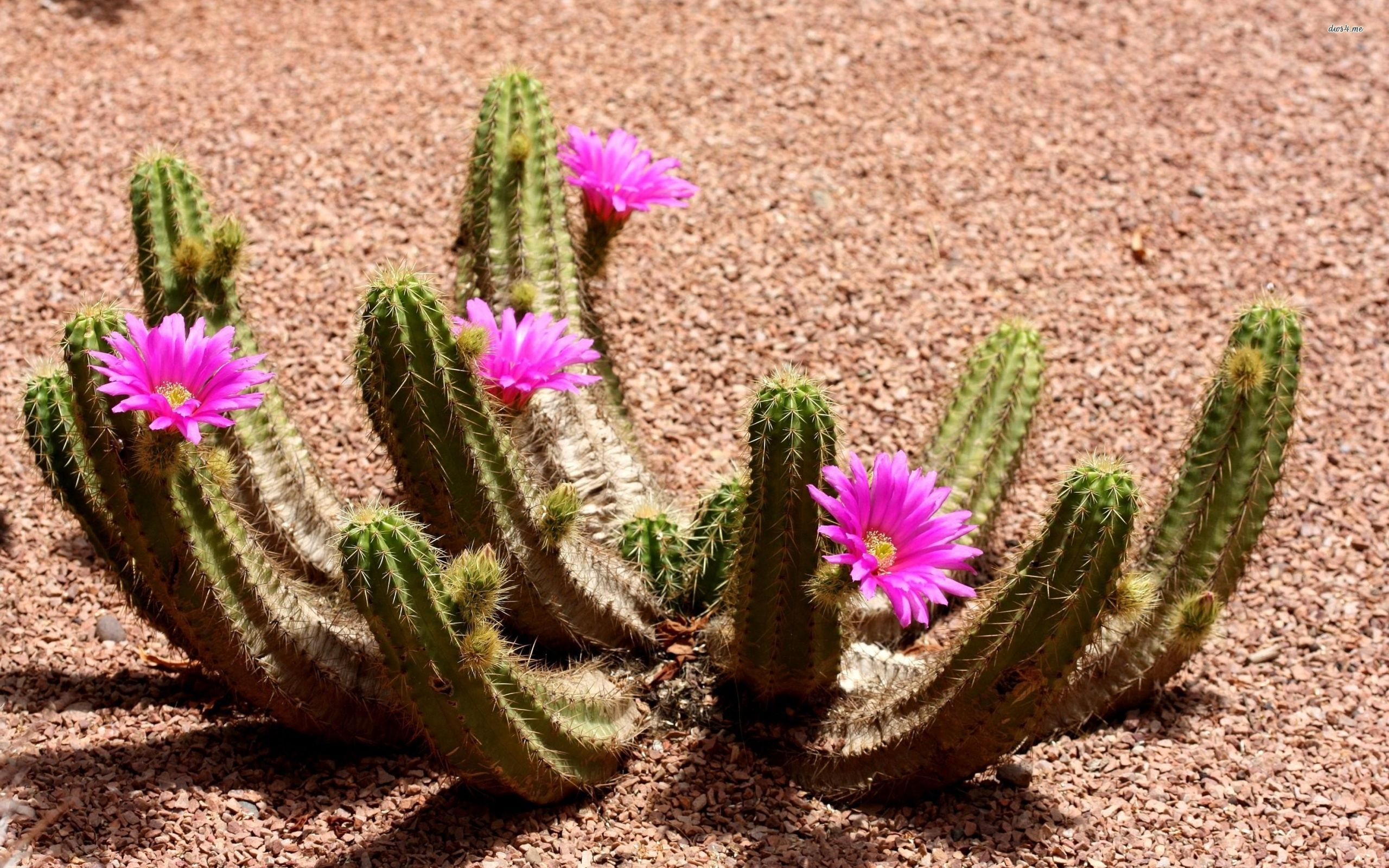 cactus flowers wallpaper background 47