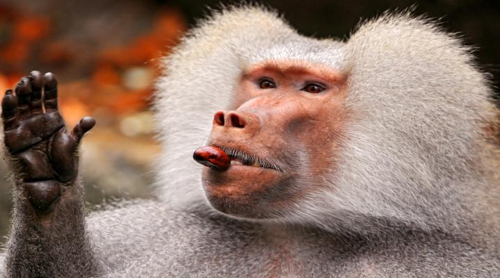 Baboon Animal Wallpaper 35
