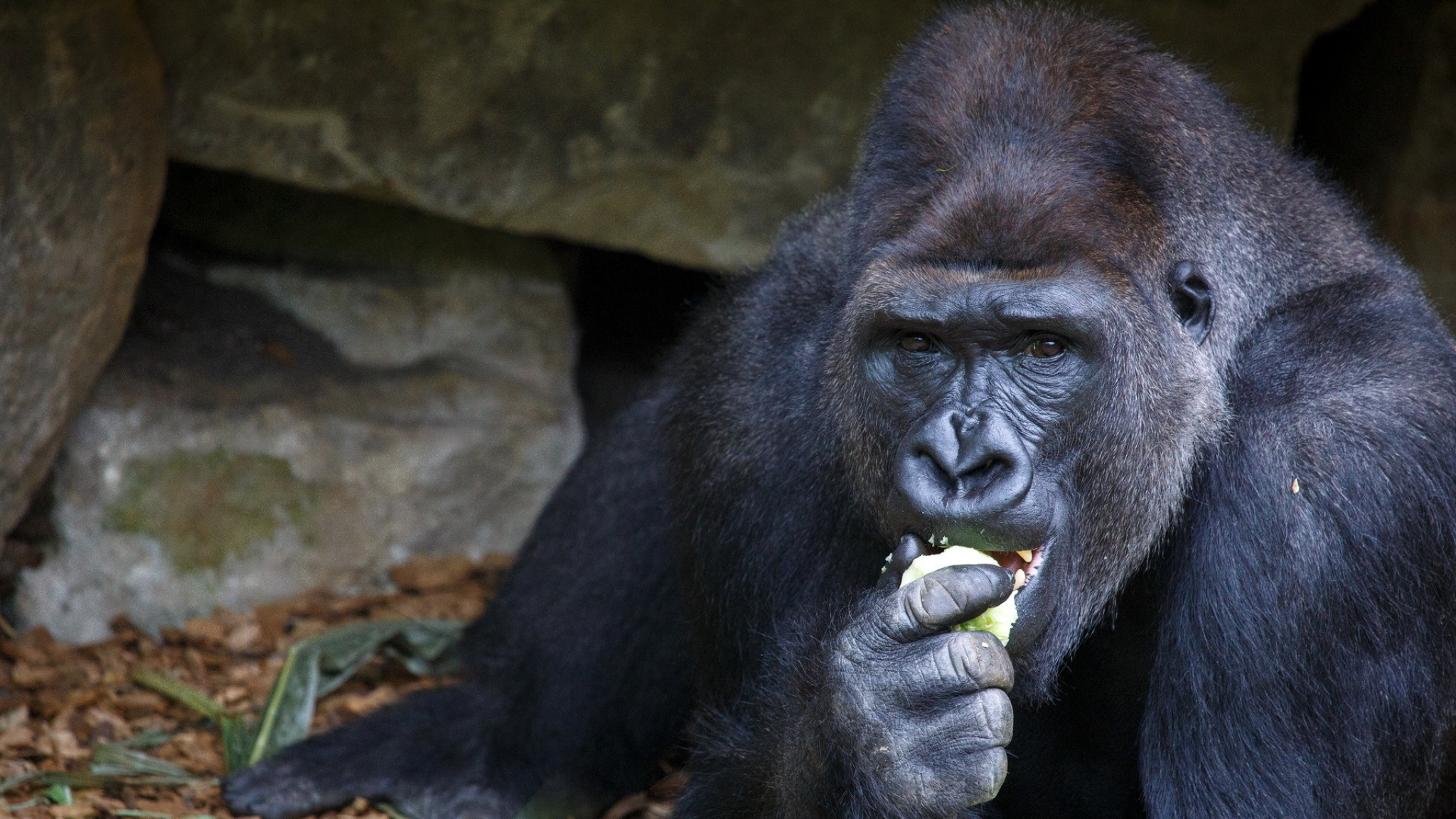 black gorilla eating desktop wallpaper 1068