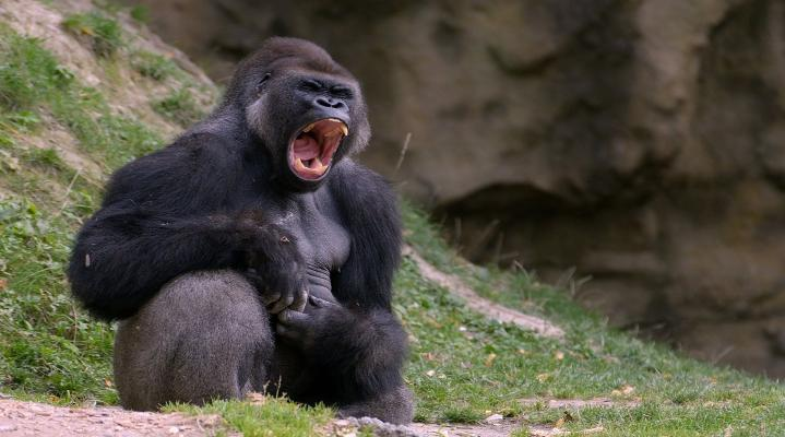 Black Gorilla 4K Widescreen Desktop Wallpaper 1067