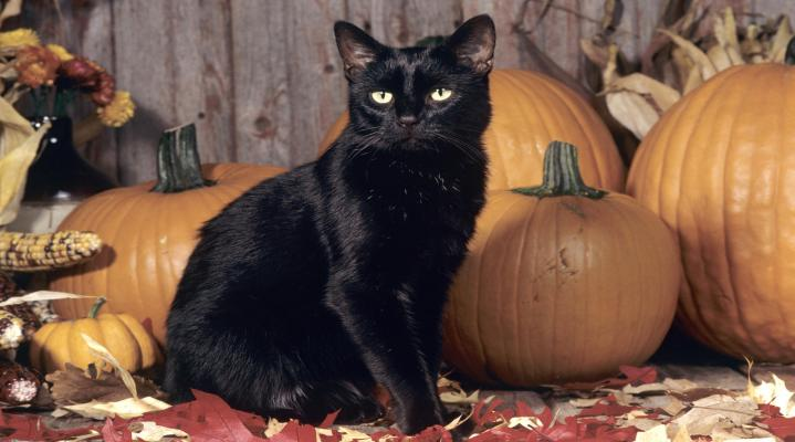 Scary Black Cat Wallpaper 308