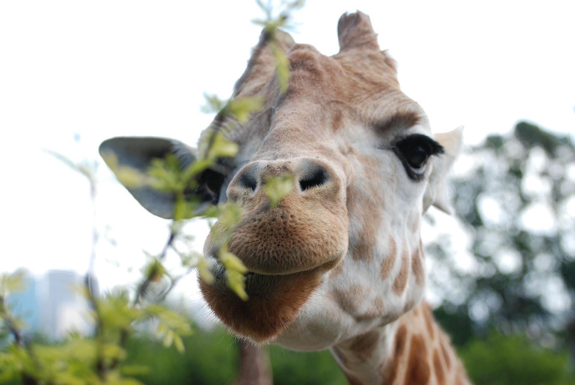 giraffe animal funny face hd wallpaper background 2287