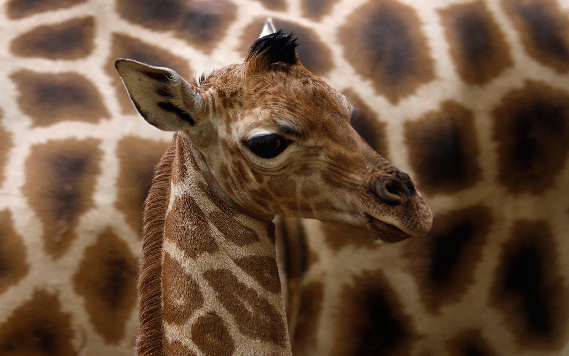 giraffe animal hd wallpaper 2288